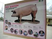 160412Schweine17.jpg