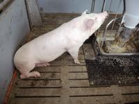 160412Schweine16.jpg