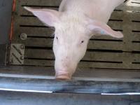 160412Schweine18.jpg